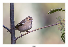 Pinson des arbres (gilbert.calatayud) Tags: commonchaffinch fringillacoelebs fringillidés passériformes pinsondesarbres bird oiseau laddo domaine des oiseaux mazères ariège midipyrénées