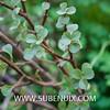 Portulacaria afra-3 (SUBENUIX) Tags: altressuculentes portulacariaafra suculentas subenuix subenuixcom planta suculent suculenta botanic botanical