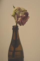 Flower In A Bottle (ericgrhs) Tags: bottle bierflasche flower verwelkt blüte stillleben