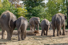 L'Orateur (musette thierry) Tags: parc animalier animaux elephant capture ete photographie discour orateur spectacle musette thierry d600 28300 belgique brugelette pairidaiza