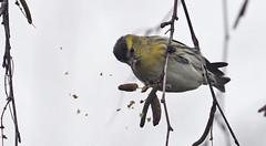 lugano (coverkill) Tags: aves navarra ciudadela 2017 naturaleza