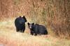 nc2017-6225 (vashnic) Tags: alligatorriverwildliferefuge blackbear cub family northcarolina