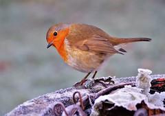My Pal Robin (4) (howell.davies) Tags: birds bird robin nature wildlife ice frost winter grass garden hendy wales uk nikon d3200 55200mm