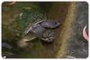 Broad-shelled river turtle (Chelodina expansa) (Craig Jewell Photography) Tags: chelodinaexpansa australia australiazoo beerwah queensland steveirwin turtle zoo f40 100300mm ¹⁄₈₀sec canoneos1dmarkiv iso500 137 20171228144500x0k0415cr2 noflash ‒²⁄₃ev