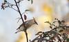 Contemplating a Snack (Rick Derevan) Tags: bird waxwing cedarwaxwing atascadero california us toyon bombycillacedorum berry