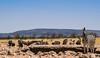 Zebra Fotobomb (Blende18.2) Tags: zebra namibia africa afrika vulture geier fotobomb nature natur etosha olympus omd em1 wildlife safari