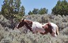 Grazing in arid Conditions (Kool Cats Photography over 9 Million Views) Tags: horse animal grazing utah canyonlands grass trees