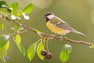 great tit on a branch with cherries
