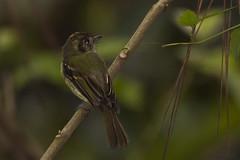 cabeçudo - leptopogon amaurocephalus (ricardo japur) Tags: wild nature natureza animais