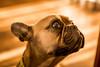 Grumpy 2 (Hughzy9mm) Tags: grumpy frenchbulldog frenchie