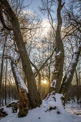 Winter sun (Markus Heinonen Photography) Tags: metsä forest sikosuo tampere suomi finland talvi winter luonto nature
