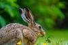 holländische Feldhase.... (Fhyrst) Tags: feldhase holland tier säugetier lepuseuropaeus travel