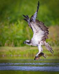 Osprey (coopsphotomad) Tags: osprey bird predator fish capture bokeh water green brown white tree ripple canon explored explore