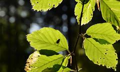 DSC_4405 Ein Sonnenbad im Regen - A sunbathe in the rain (baerli08ww) Tags: deutschland germany rheinlandpfalz rhinelandpalatinate westerwald westerforest regen rain sonne sun gegenlicht backlight
