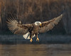Spread Eagle (Beth Sargent) Tags: baldeagle birdofprey raptor bird hunter lake nature wildlife eagle wild majestic fly flight wings feathers water talons explore