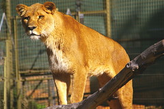 Lioness (dbind747438) Tags: western plains zoo dubbo new south wales nsw country attraction travel animal fauna wildlife lioness lion mammal cat