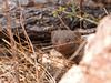 SouthAfrica2-Timbavati-155_2017-09-29 (sabine.haecker) Tags: südafrika safari southafrica timbavati krüger mongoose