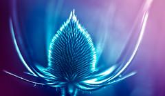 sculptural inflorescence (Simon[L]) Tags: teasel hss photoshop vibrant blue purple graphic plant unreal