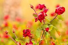 Lluvia para las rosas (arapaci67) Tags: canon lluvia rosas naturaleza nature jaen villanuevadelareina rojo red andalucía spain 70d
