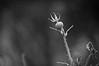 Rosehip (bryanlotz) Tags: nature plant flower closeup springtime season freshness outdoors beautyinnature white macro summer backgrounds blossom leaf branch singleflower flowerhead meadow greencolor rosehip