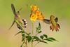 Hummingbirds on alert (Eric Gofreed) Tags: arizona hummingbird mybackyard sedona villageofoakcreek