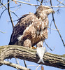 Lunch (tresed47) Tags: 2017 201712dec 20171204conowingoeagles birds canon7d conowingo content december eagle fall folder maryland peterscamera petersphotos places season takenby us ngc npc