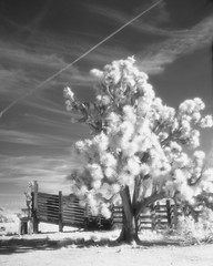 Walking Box Ranch (magnetic_red) Tags: tree joshuatree sky clouds blackandwhite infrared efkeir820 rodinal americanwest cattlecorral crowngraphic largeformat