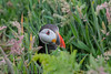 Puffin - (Fratercula arctica) 'L' for large (hunt.keith27) Tags: black back white underparts head with large pale cheeks brightlycoloured bill red eyemarkings seabirds clown fraterculaarctica skomer wales island puffin theworldsfavouritebirds