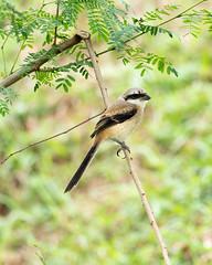 20171209-EM121428 (shutterblades) Tags: birds longtailedshrike olympusem1mkii olympusmzuiko300mmf4pro14tc seletaraerospacepark seletarwestlink