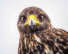 Juvenile Harris Hawk (NBTXN) Tags: tamron150600 birding birdofprey hawk nikond5300 nature bird texas raptor outdoor nikon juvenileharrishawk naturephotography birdwatching