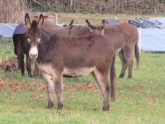 UK - Oxfordshire - Near Goring - Donkeys (JulesFoto) Tags: uk england clog centrallondonoutdoorgroup oxfordshire goring donkeys