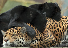 jaguar artis BB2A9954 (j.a.kok) Tags: jaguar jaguarcub jaguarwelp zwartejaguar blackjaguar pantheraonca rica artis animal kat cat mammal zoogdier dier southamerica zuidamerika predator