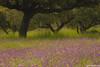 The short spring in Sierra Morena (The Little Window) Tags: andalucía spring summer oaks flower weather yellow purple green grass tree nikon benro lensmastergimbal