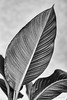 Spathiphyllum (Didier Mouchet) Tags: spathiphyllum feuille plante nature noiretblanc blackandwhite bw monochrome didiermouchet d5300 nikond5300 nikon sigmaf14 bianconero