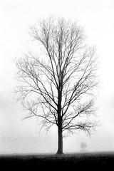 OLYMPUS OM2 Zuiko 1.8 50 FOMA 200 LC29 (Leinik) Tags: olympus om2 zuiko 18 50 foma 200 lc29 tree trees