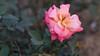 0F1A2996 (Liaqat Ali Vance) Tags: nature winter weather rose flower beauty lawrence garden google liaqat ali vance pakistan lahore punjab photography