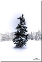 DECEMBER 2017  NGM_6789_3445-1-222 (Nick and Karen Munroe) Tags: trees tree landscape  canada ontario brampton snowstorm snowfall snowing snow white wintry wintery winter 1424 1424f28 nikon1424f28 nikon munroedesigns karenick23 karenick karen nick munroe munroedesignsphotography munroephotography karenandnick karenandnickmunroe karenmunroe nickmunroe nickandkaren nickandkarenmunroe