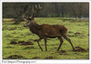 King Stag, Normanby Park (Paul Simpson Photography) Tags: paulsimpsonphotography imagesof imageof photoof photosof sonya77 mammal animal nature naturalworld grass normanbypark trees naturephotos antlers reddeer alphamale male stag england uk 2017