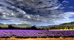 MOODY LAVENDER BLUES (Lani Elliott) Tags: nature naturephotograhy lanielliott sky skies moody cloud clouds lavender lavenderfarm flowers field landscape meadow blue purple mauve color colour colourful dramatic dramaticsky light bright beautiful wow gorgeous