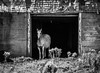 And There She Was (B&W) (Katrina Wright) Tags: musquodoboit ns novascotia monochrome horse barn decrepit broken shingles bw nb white mare animal dsc43004 sliderssunday wall door