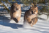 Puma Cubs (Matt Stratmoen) Tags: puma cougar mountain lion cubs kittens