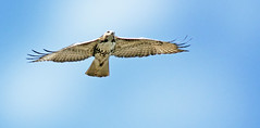 Red-Tail Over The Lake (Vidterry) Tags: hawk redtailedhawk