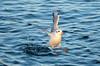 (Laetitia de Lyon) Tags: fujifilmxt10 mouette bird seagull eau water parcdelatêtedor