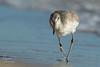 Pure Will(et)power (Michael Allen Siebold (Getty Images Contributor)) Tags: water beach willet bird birding injured inspiring panamacitybeach