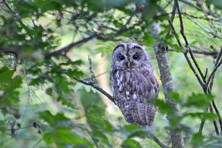 Young Tawny