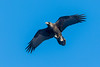 Raven carrying its lunch.......... (DP the snapper) Tags: raven snow birds hopebowdlercaradocwalk