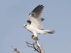 White-tailed Kite (Hockey.Lover) Tags: whitetailedkite birds coyotehillsregionalpark explore