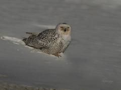 Cleaning Up (slsjourneys) Tags: snowyowl owl islandbeachstatepark