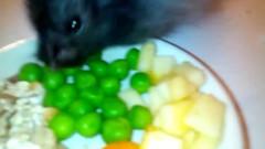 25548760_265688130628382_6173741129784098816_n (natalie.asim) Tags: hammy ham hamies hamster hamsterlovers lovely cute adorable fluffy syrian longhair grey dinner time apple