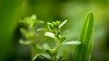 Green Little Person (www.leonardocarneirofotografia.com) Tags: green verde planta plantas grass growing light luz leocarida canon7dmkii 50mm raynox raynoxdcr250 tramandaí riograndesdosul osório riotramandaí brazil brasil folha folhas leaf leaves plant
